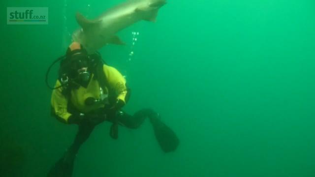 Jenny Oliver head grabbed by sevengill shark