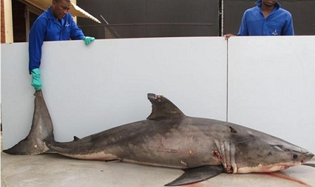A GREAT white shark was caught on a drum line at Sunwich Port, near Port Shepstone yesterday (Thursday). The animal was 3.1m in length and weighed in at 316kg