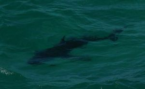 Another shark spotted at Byron Bay recently. Ben Bennink