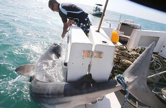 15.5 foot Tiger Shark caught in Queenslands Shark Control Program