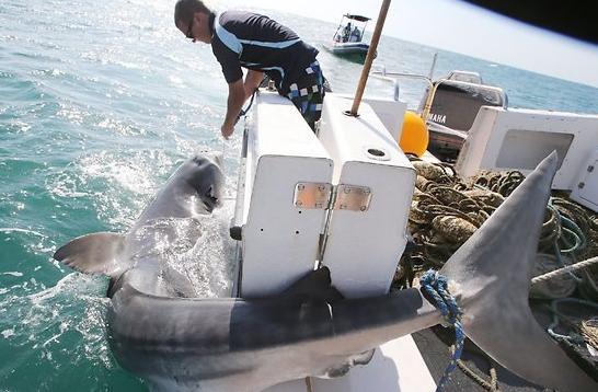 15.5 foot Tiger Shark caught in Queensland's Shark Control Program