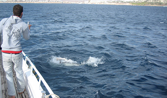 Shock ... tiger shark splashes off Sharm el-Sheikh coastline