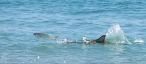 Palm Beach County Florida - Sharks at beach