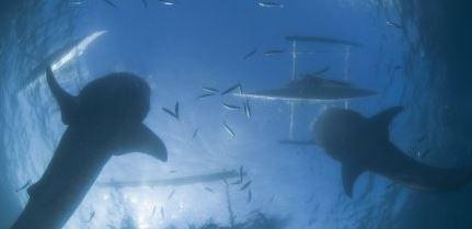 Sharks of Reunion Island